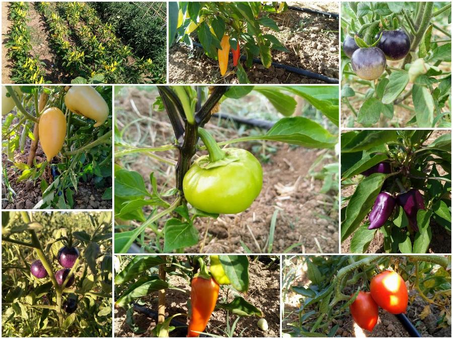 El tomate azul. La huerta en casa