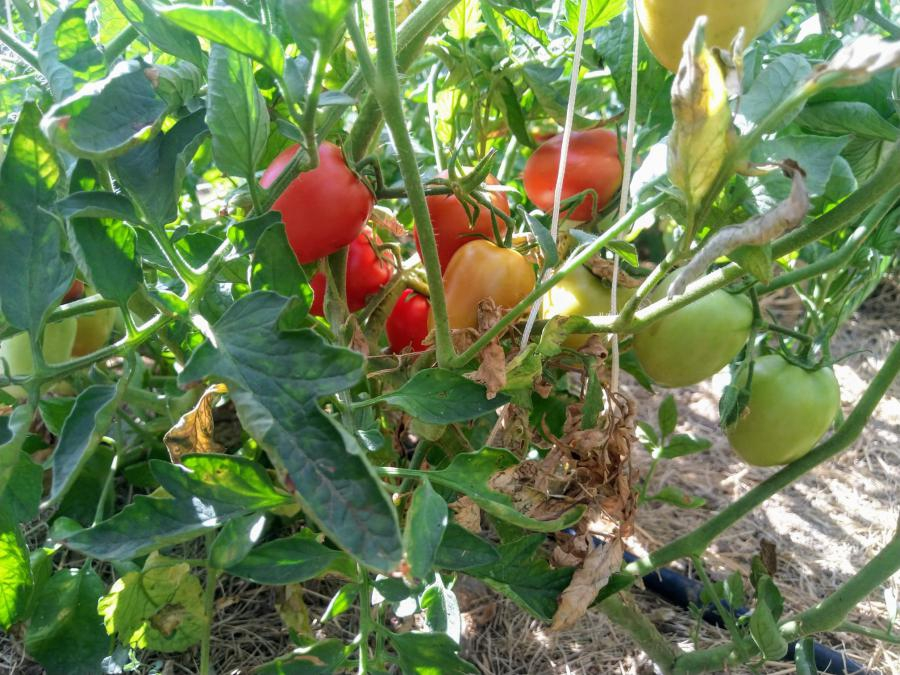 Tomate cubano pera